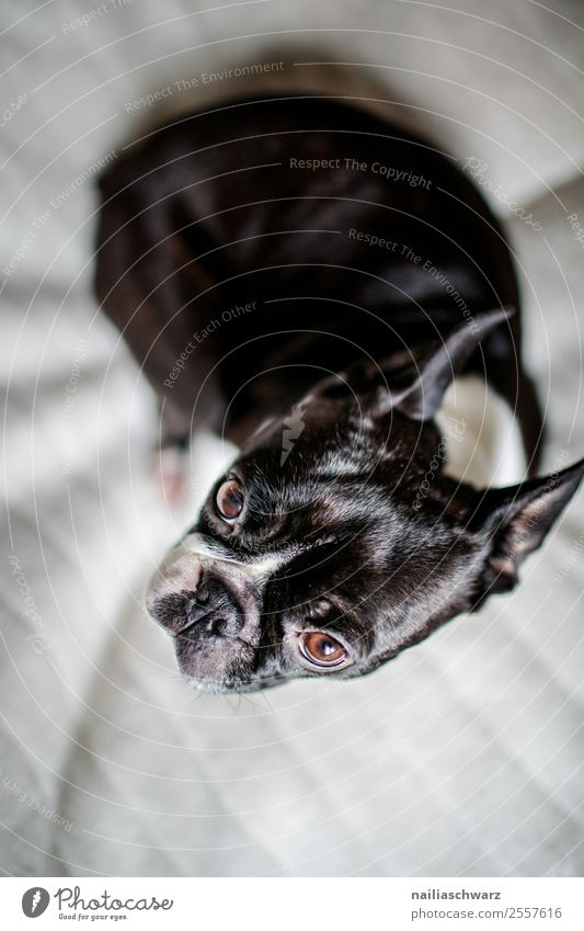 Boston Terrier Portrait Hund weiß Tier schwarz Wärme Traurigkeit lustig träumen elegant sitzen warten niedlich Bett Gelassenheit Haustier Müdigkeit