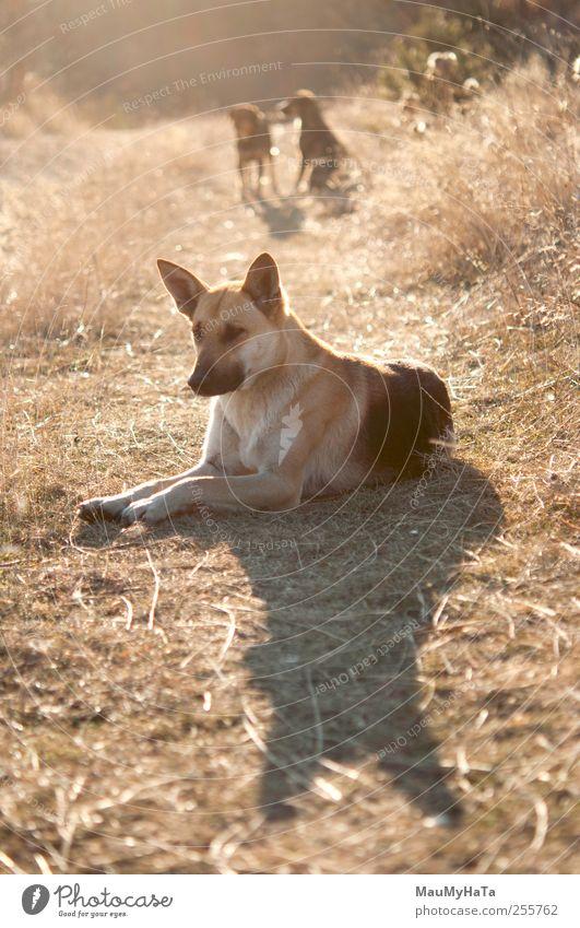 Natur Hund Pflanze Sonne Tier ruhig Erholung Herbst Gefühle Gras liegen Klima Tiergruppe beobachten Tiergesicht Fußweg