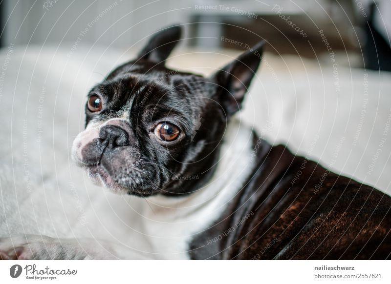Boston Terrier Portrait Hund weiß Erholung Tier Freude schwarz Wärme Traurigkeit lustig träumen Kommunizieren liegen genießen niedlich beobachten Coolness