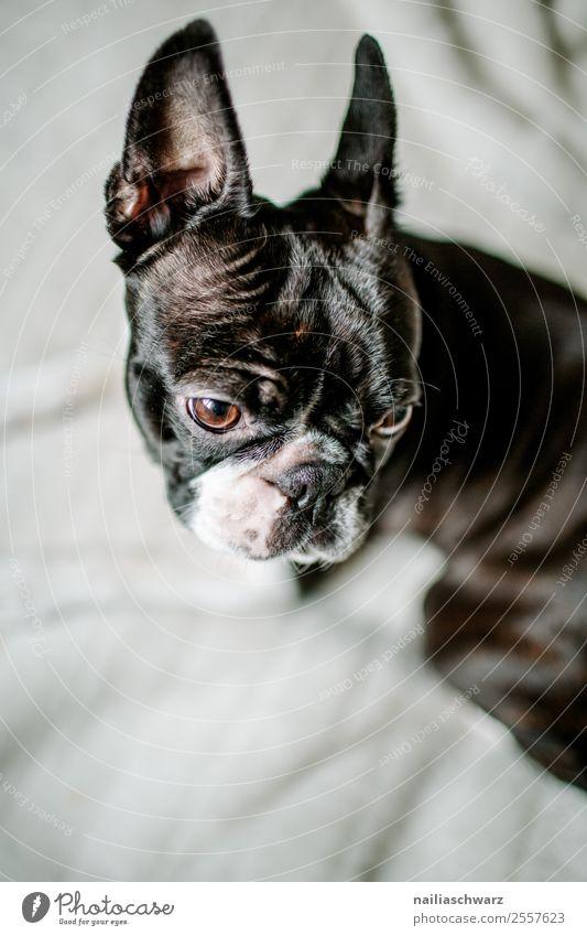 Boston Terrier Portrait Wärme Tier Haustier Hund 1 beobachten entdecken Erholung Blick warten frech Freundlichkeit Fröhlichkeit lustig natürlich Neugier