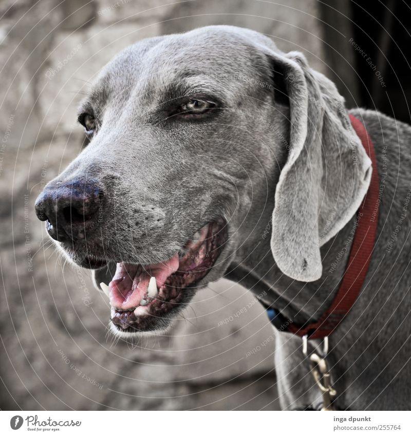 Treue Dame Umwelt Natur Tier Haustier Hund Haushund 1 beobachten warten alt ästhetisch kalt schön grau Tapferkeit Sicherheit Schutz Geborgenheit Verantwortung