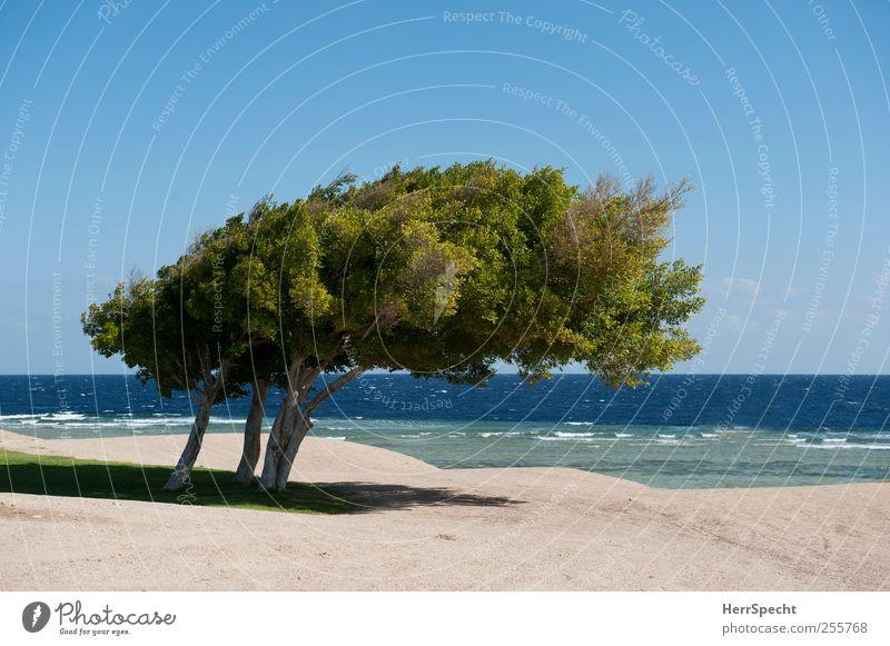 Immer dieser Nordwind... Landschaft Sand Wasser Wolkenloser Himmel Schönes Wetter Baum Küste Meer Wüste Wachstum blau grün Einsamkeit Ferne Zusammenhalt Wind