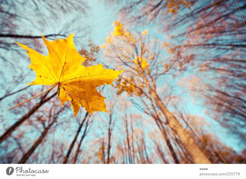 333 Gold Umwelt Natur Landschaft Pflanze Luft Himmel Herbst Baum Blatt Wald leuchten hoch schön blau gelb nachhaltig Umweltschutz Wachstum Wandel & Veränderung