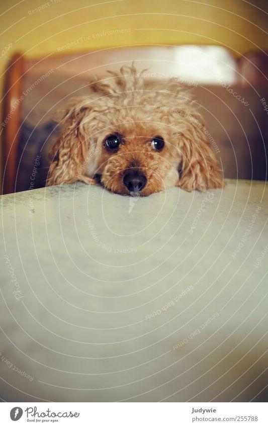 Schmollhund Tier gelb Ernährung Hund Traurigkeit braun Wohnung warten Tisch Häusliches Leben Küche niedlich Neugier Sehnsucht Locken Haustier