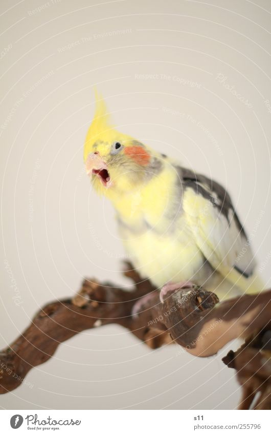 gääääähhn... Tier gelb sprechen Gefühle grau lustig braun Vogel fliegen Coolness Flügel Tiergesicht Tragfläche Müdigkeit Metallfeder atmen