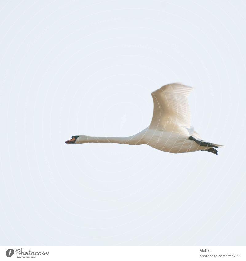 Flugs Natur blau weiß schön Tier Umwelt Freiheit Bewegung Luft hell Vogel fliegen frei natürlich Geschwindigkeit Wildtier