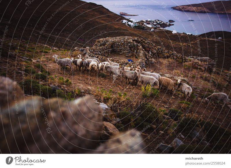 Schafsherde auf Insel Ferien & Urlaub & Reisen Ausflug Abenteuer Umwelt Sonnenaufgang Sonnenuntergang Schönes Wetter Sträucher Feld Hügel Küste Bucht Meer Tier