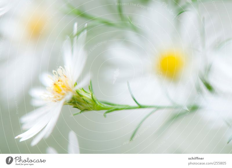 Versuchung... Natur Pflanze Blume Blüte Duft weiß leicht unschuldig Blütenblatt Blütenstempel Blütenpflanze Blütenstauden zart schön Schwache Tiefenschärfe