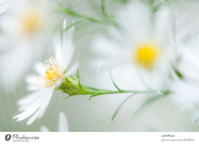 Versuchung... Natur weiß schön Pflanze Blume Blüte zart Duft leicht Blütenblatt unschuldig Blütenstempel Blütenpflanze Blütenstauden