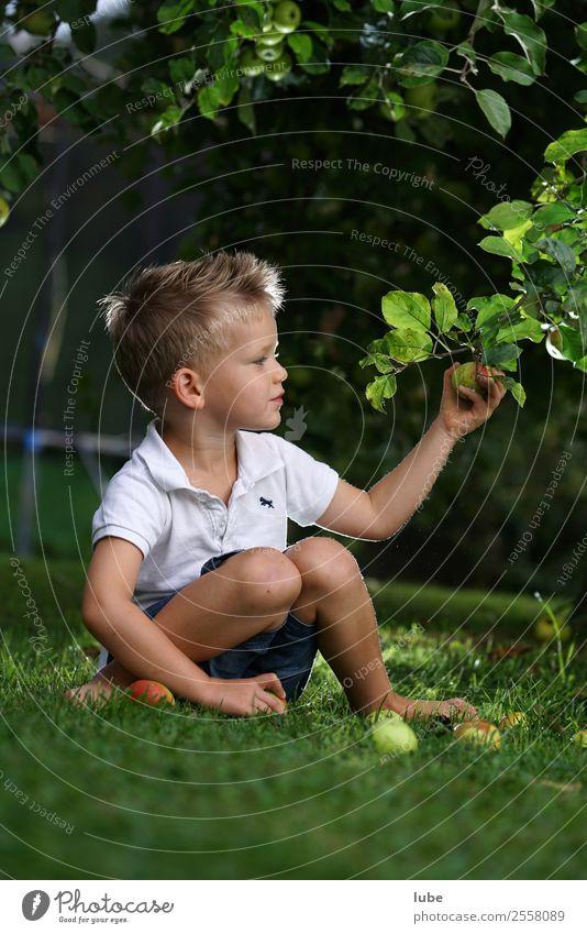 Apfelernte Lebensmittel Frucht Ernährung Vegetarische Ernährung Gesundheit Gartenarbeit Kind Junge Kindheit 3-8 Jahre Umwelt Natur Herbst Essen frisch obst