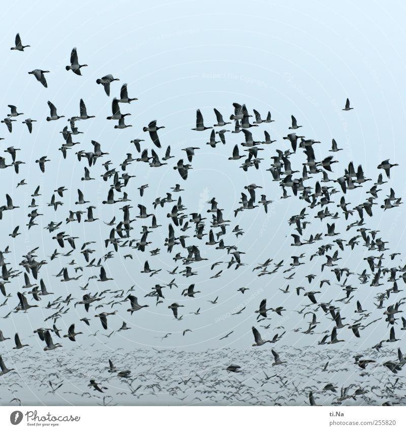 immer mir nach Freiheit Vogel fliegen wild Wildtier frei Flügel viele Tier Schwarm gigantisch Vogelschwarm Bewegung Vogelflug Zugvogel Wildgans