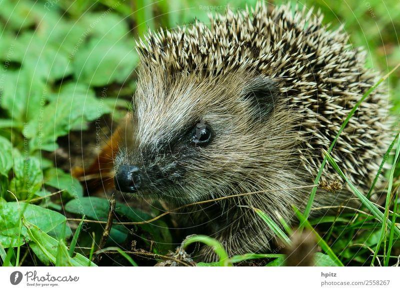 neugierig Natur Tier Wildtier Tiergesicht Igel krabbeln lernen stachelig Neugier Farbfoto Außenaufnahme Textfreiraum links Tag Froschperspektive Tierporträt
