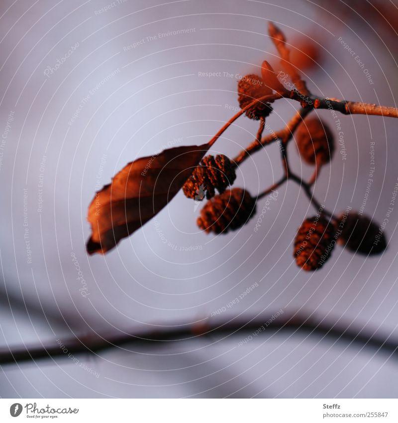 letzter Sonnenschein im November Natur Pflanze Sonnenlicht Herbst Blatt Zapfen Herbstlaub Zweig violett rot Novemberstimmung Traurigkeit Stimmung