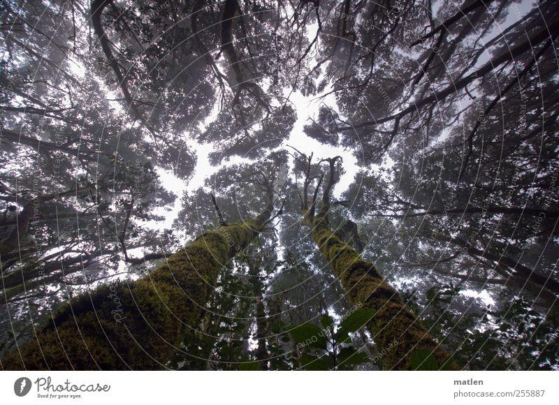 Nebelwald Pflanze Himmel Klima Baum Moos Wald dunkel gigantisch gruselig hoch grün streben Baumstamm bemoost Gedeckte Farben Außenaufnahme Tag Gegenlicht