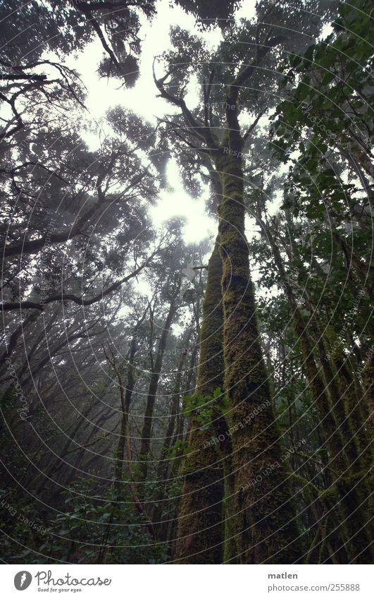Nebelwald Himmel grün Baum Pflanze Wald dunkel Landschaft braun Nebel Klima gruselig Urwald Nebelwald Wacholder