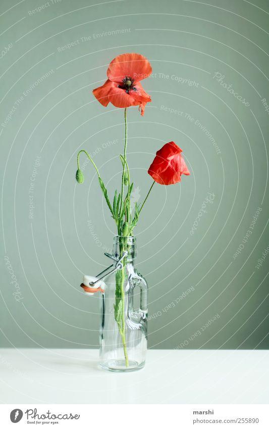 blühender 2. Advent Natur Pflanze Blume grün rot Mohn Mohnblatt Mohnblüte Blühend Vase Babyfläschchen Dekoration & Verzierung Farbfoto Innenaufnahme