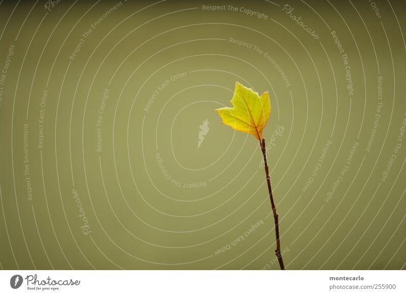 Einsam... Umwelt Natur Pflanze Herbst Schönes Wetter Baum Blatt Grünpflanze Wildpflanze Platane Garten ästhetisch dünn authentisch hoch klein trocken wild weich