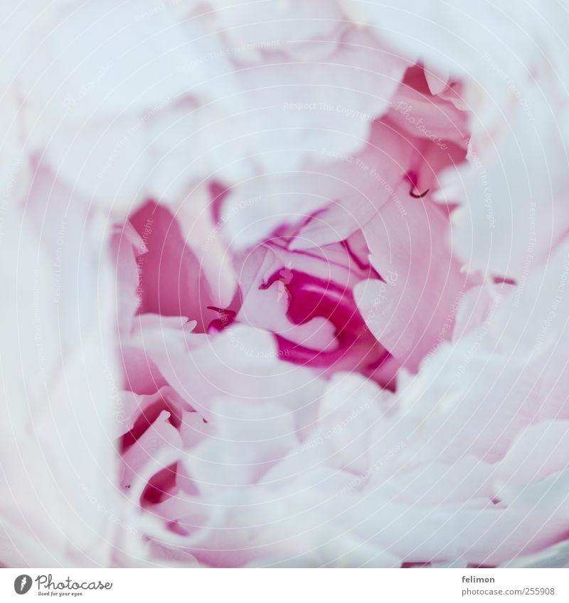Blütenzauber Natur Pflanze Blume Pfingstrose ästhetisch Duft elegant natürlich schön weich rosa weiß Farbfoto Außenaufnahme Nahaufnahme Detailaufnahme