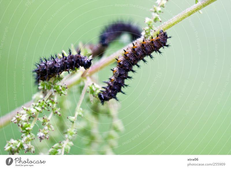 Blütenräuber grün Pflanze Tier Wiese Umwelt Garten ästhetisch Wildtier Schmetterling Stengel Raupe