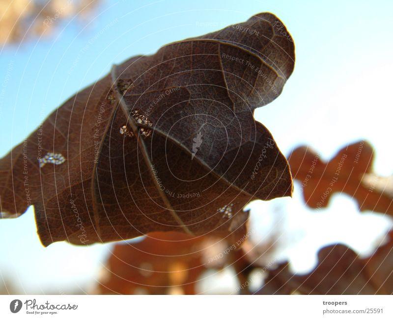 Herbstblatt Blatt Herbstlaub Nahaufnahme Detailaufnahme welk