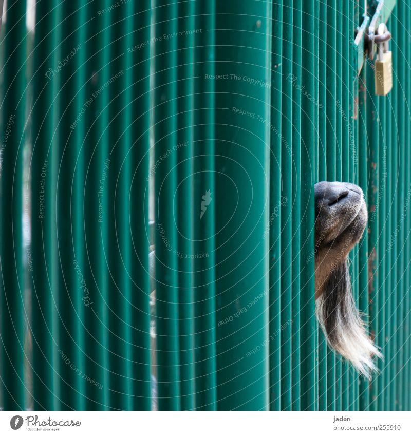 free mecki! Tier Einsamkeit Freiheit Schutz Sehnsucht Bart Zaun Schloss Gitter Haustier gefangen Überwachung Gefühle Ziegen Käfig Tresor