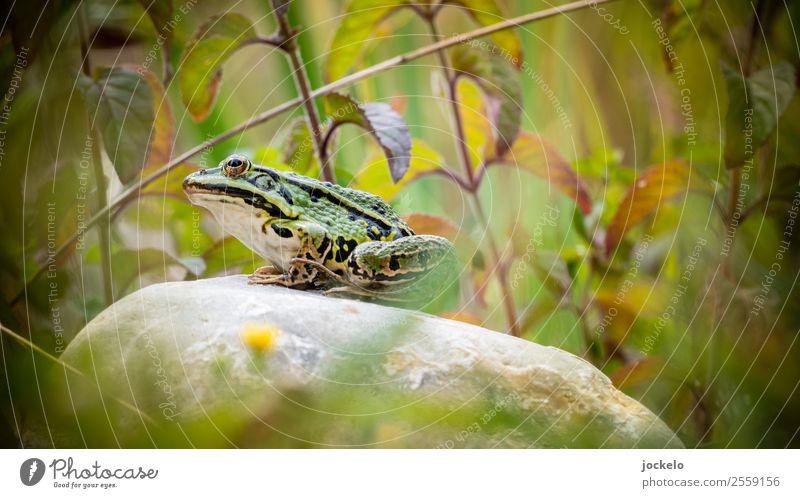 Ich bin ein Prinz Ausflug Abenteuer Camping Sommer Sonne Tier Wildtier Frosch 1 füttern braun grün Grasfrosch Teich Stein Farbfoto Außenaufnahme Detailaufnahme