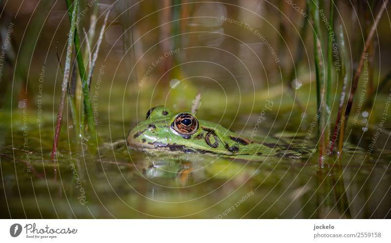 Oberkante Unterlippe Umwelt Natur Wasser Sommer Sträucher Tier Frosch 1 beobachten krabbeln Schwimmen & Baden Blick braun mehrfarbig gelb gold grün Farbfoto
