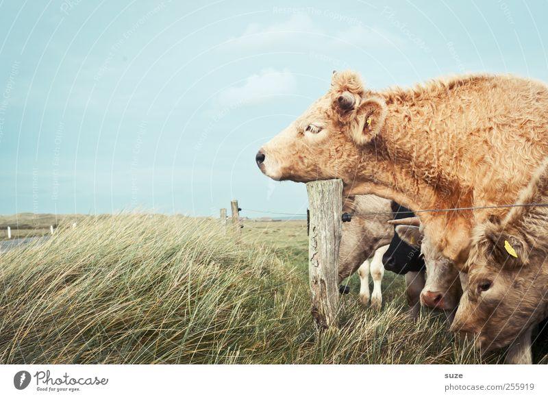 Müde bin ich ... Natur Tier Wiese lustig natürlich schlafen Tiergruppe niedlich Weide Kuh Müdigkeit Bioprodukte Biologische Landwirtschaft Alm Nutztier