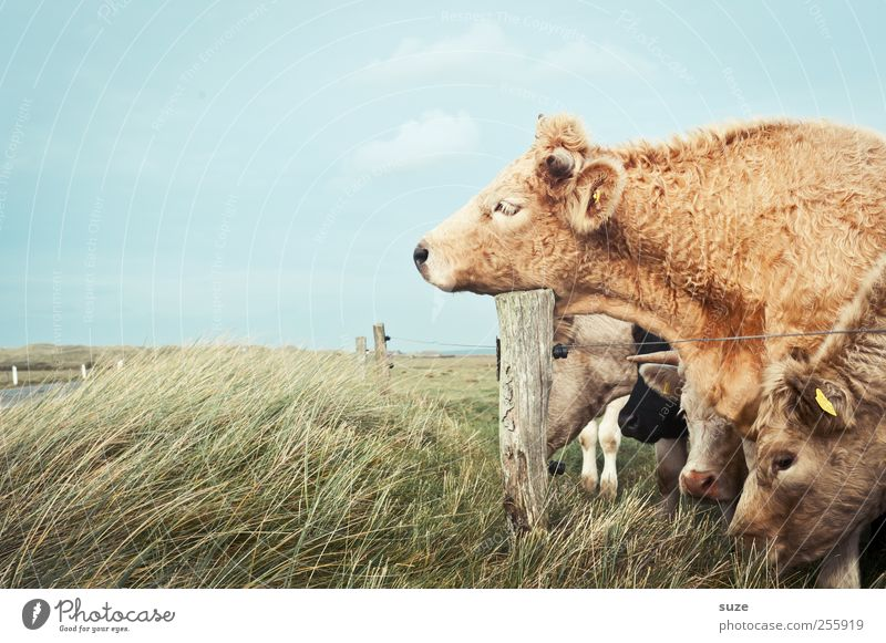 Müde bin ich ... Natur Tier Wiese lustig natürlich schlafen Tiergruppe niedlich Weide Kuh Müdigkeit Bioprodukte Biologische Landwirtschaft Alm Nutztier Tierzucht