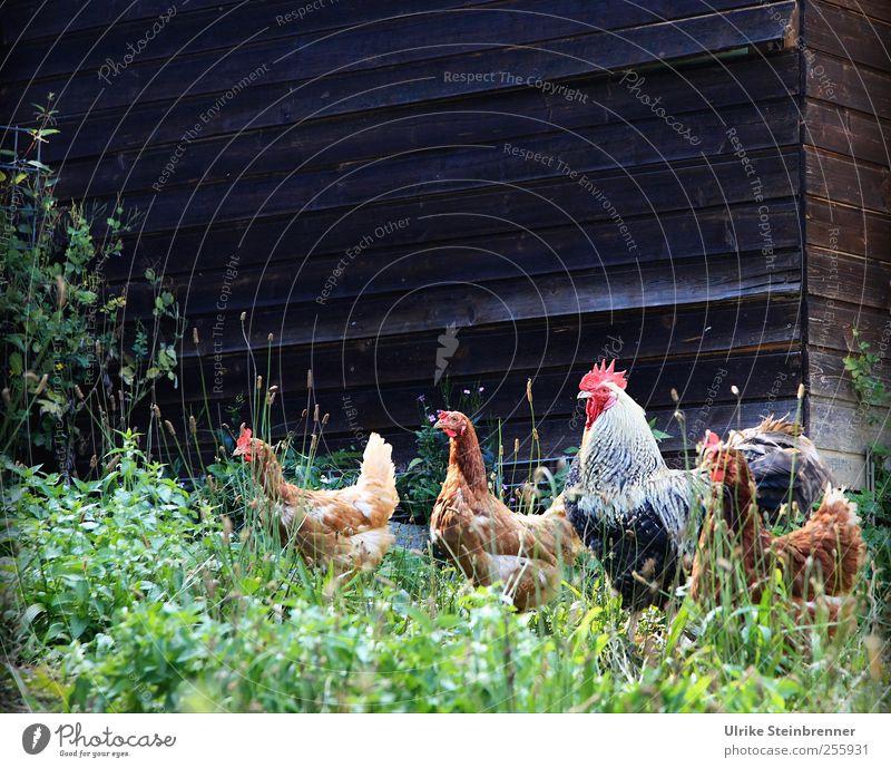 Glückliche Hühner Natur Sommer Pflanze Tier Wiese Lebensmittel Gras Zusammensein natürlich warten frei Tiergruppe Sträucher Bauernhof Haustier Stolz