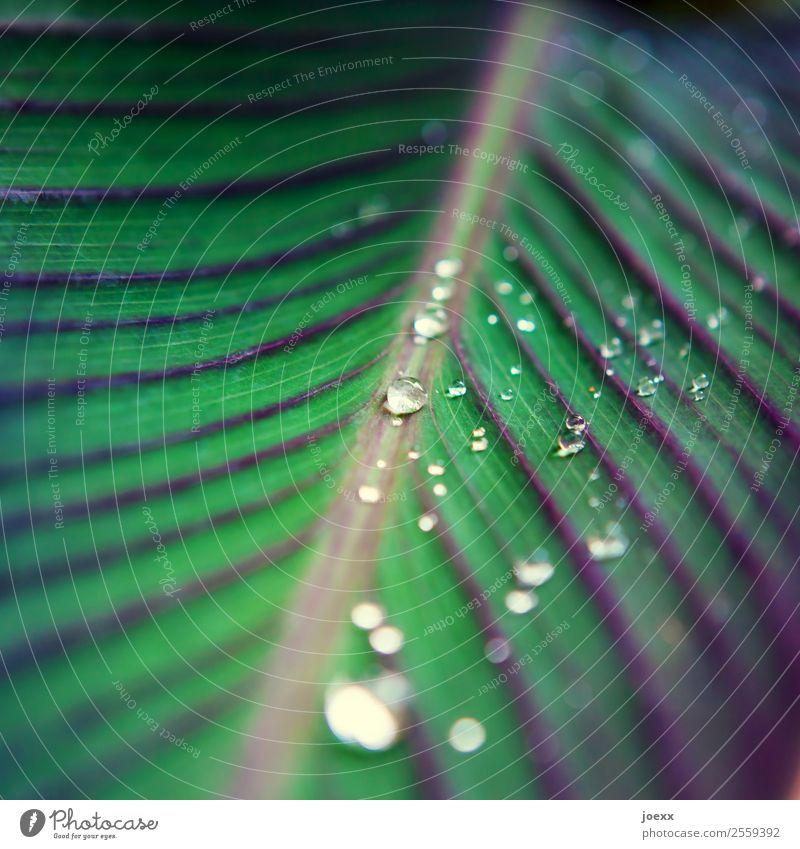 Grünes Blatt mit perlenden Wassertropfen Nanoeffekt Pflanze hydrophob Oberflächenspannung Regenperlen Pflanzenteile Linie grün ästhetisch Grünpflanze Natur
