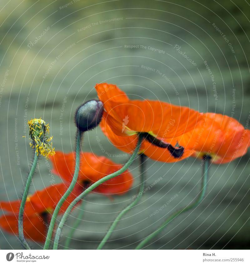 Swing Pflanze Frühling Blume Blüte Mohn Mohnblüte Blütenknospen Bewegung Blühend Tanzen verblüht ästhetisch authentisch natürlich grün Frühlingsgefühle