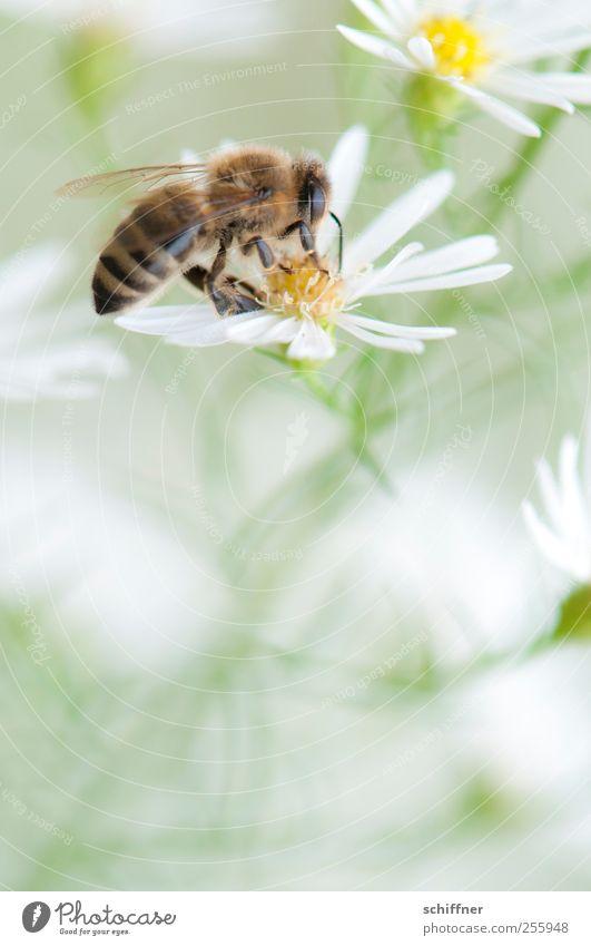 Der Versuchung erlegen Natur Pflanze Blume Tier 1 Blühend weiß bestäuben Biene Blüte Blütenpflanze leicht Leichtigkeit zart schön Detailaufnahme Makroaufnahme