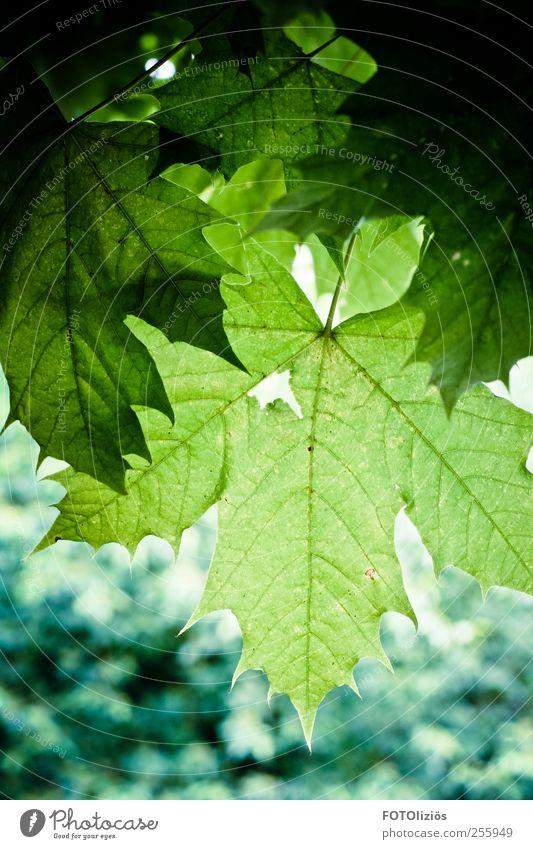 Grüner Herbst Natur Pflanze Baum Blatt Ahornblatt Park Wald kalt blau grün Wachstum Farbfoto Außenaufnahme Menschenleer Tag Kontrast Silhouette