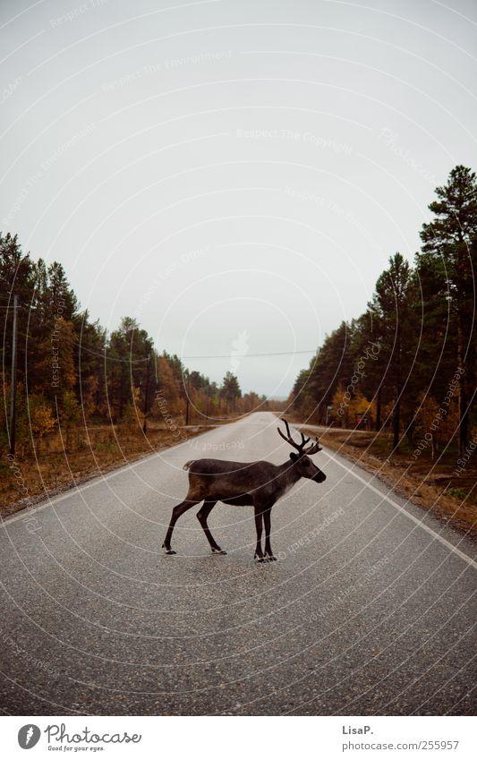 rudi auf 12Uhr Natur Himmel Herbst Baum Wald Menschenleer Straße Tier Wildtier Fell Rentier Blick stehen braun grau grün Akzeptanz Tierliebe Trägheit