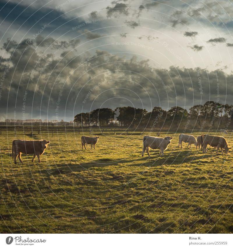 Kühe in Schleswig-Holstein unter tunesischem Himmel Natur grün Wolken Tier Herbst Wiese Ernährung Umwelt Landschaft Stimmung natürlich Klima Tiergruppe