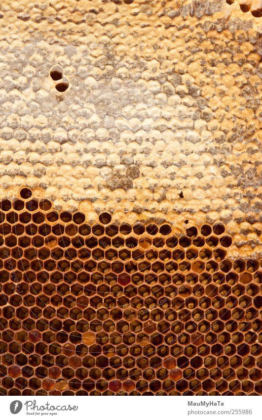 Wabe Lebensmittel Dessert Süßwaren Natur Tier Sonne Sonnenlicht Pflanze Blume Gras Efeu Blüte Wildpflanze Garten Park Feld Nutztier Wildtier Biene Tiergruppe