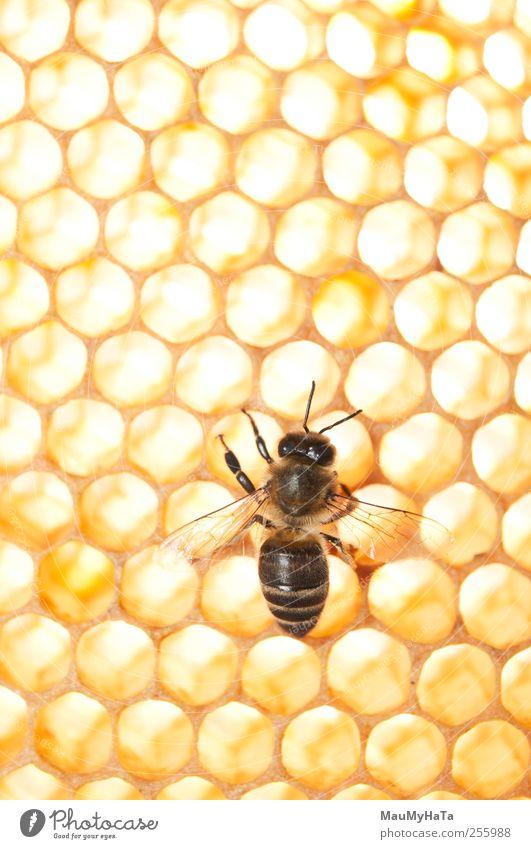Biene Lebensmittel Dessert Bioprodukte Natur Pflanze Tier Sonne Sonnenlicht Schönes Wetter Baum Blume Gras Blatt Blüte Wildpflanze Garten Feld Nutztier Wildtier