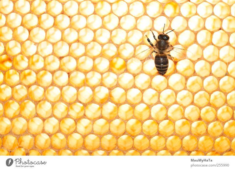 Biene Natur Tier Sonnenlicht Sommer Klima Pflanze Baum Blume Gras Blüte Garten Park Feld Nutztier 1 Kamm Aggression chaotisch Design Kontakt Kontrolle Schutz