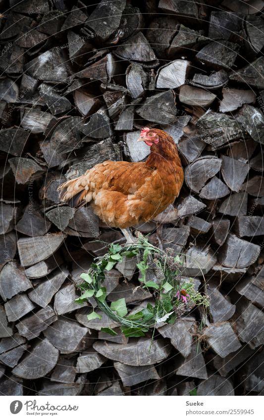 Posing Chicken - Huhn auf Holzscheit Tier Haushuhn 1 sitzen Dorfschönheit bräunlich rot grau Holzstapel Blumenkranz Kranz Brennholz Neugier Körperhaltung