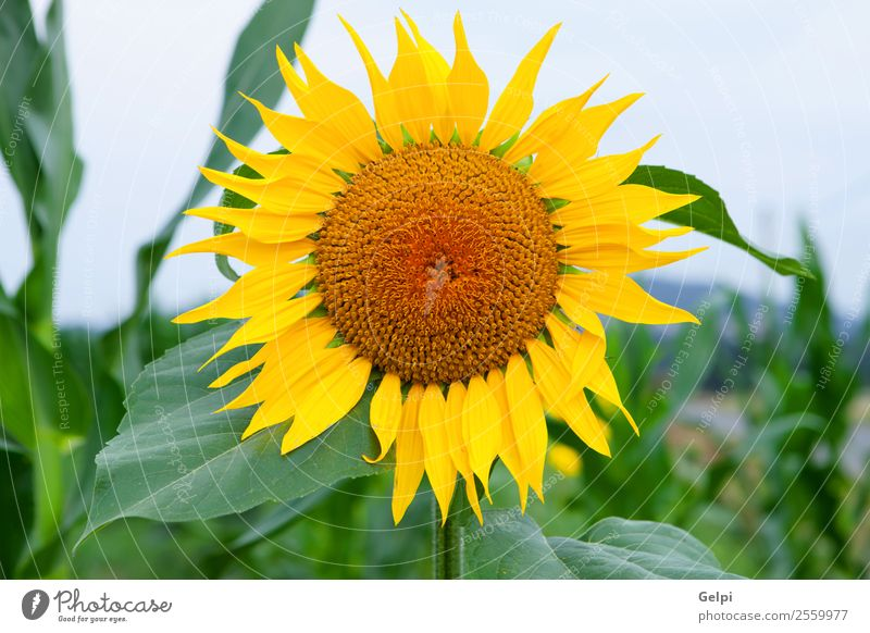 Sonnenblume schön Sommer Garten Natur Landschaft Pflanze Himmel Blume Blatt Blüte Wiese Wachstum hell natürlich gelb grün Feld Ackerbau Hintergrund sonnig