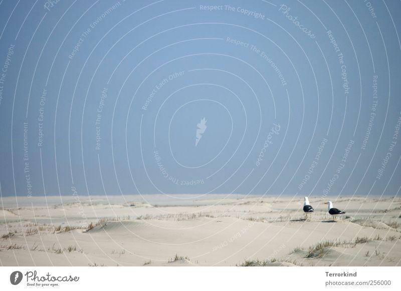 Spiekeroog | Heim.wärts Himmel blau Meer Strand Tier Ferne Sand Platz Insel Sträucher Nordsee Möwe Wolkenloser Himmel Grasbüschel