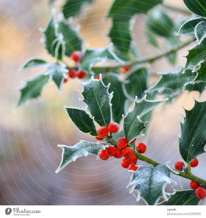 ...noch mehr Frost Natur Pflanze Weihnachten & Advent grün rot Blatt Winter kalt Garten Frucht Park Dekoration & Verzierung Klima Frost Beeren frieren