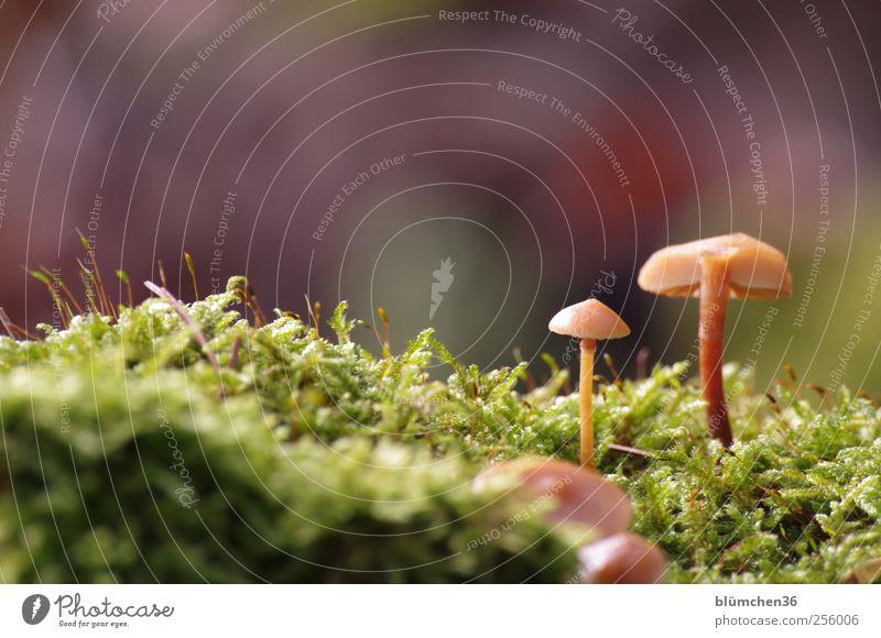 Wenn ich erstmal groß bin, werde ich ... Lebensmittel Gemüse Ernährung Natur Pflanze Herbst Moos Pilz Pilzhut Waldboden Wachstum ästhetisch schön klein lecker