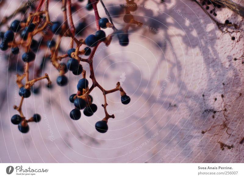 altrosa. Umwelt Pflanze Beeren Ast Zweig Zweige u. Äste Mauer Wand Fassade Schatten Farbfoto Licht Schwache Tiefenschärfe Silhouette