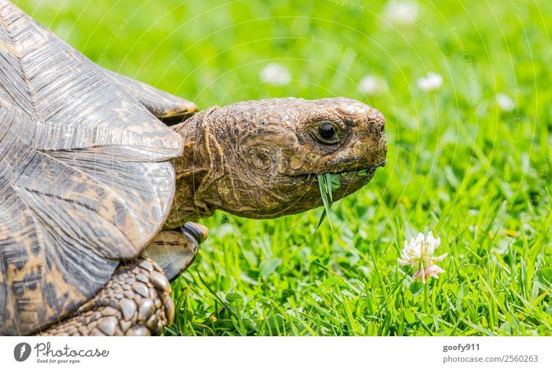 Guten Appetit Ausflug Abenteuer Natur Erde Pflanze Gras Tier Wildtier Tiergesicht Fährte Zoo Schildkröte Schildkrötenpanzer 1 Fressen genießen krabbeln Farbfoto