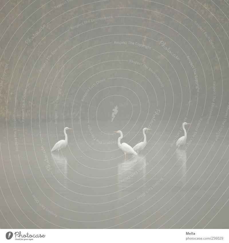 Gemeinsam Umwelt Natur Landschaft Tier Wasser Nebel Seeufer Teich Vogel Reiher Silberreiher 4 Tiergruppe Blick stehen Zusammensein natürlich trist grau Idylle