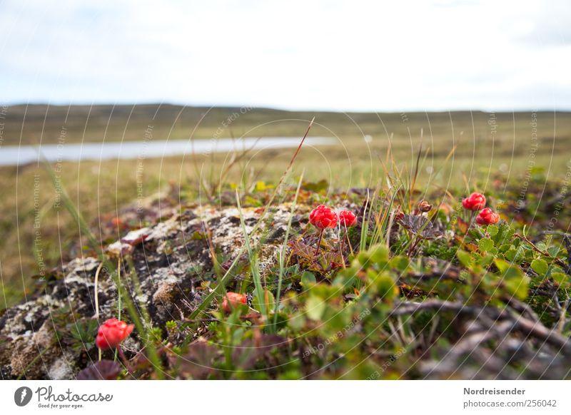 Nordische Vegetation Natur Pflanze Sommer Einsamkeit Ernährung Landschaft Gras Lebensmittel Stein Frucht Klima ästhetisch Wachstum einzigartig Ernte Bioprodukte