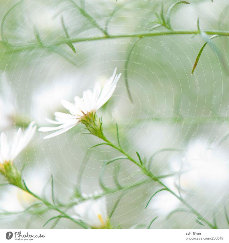 Neue Versuchung Natur Pflanze Blume Blüte weiß weich leicht zart zartes Grün Leichtigkeit filigran duftig unschuldig Blütenblatt Blütenkelch Blütenstauden