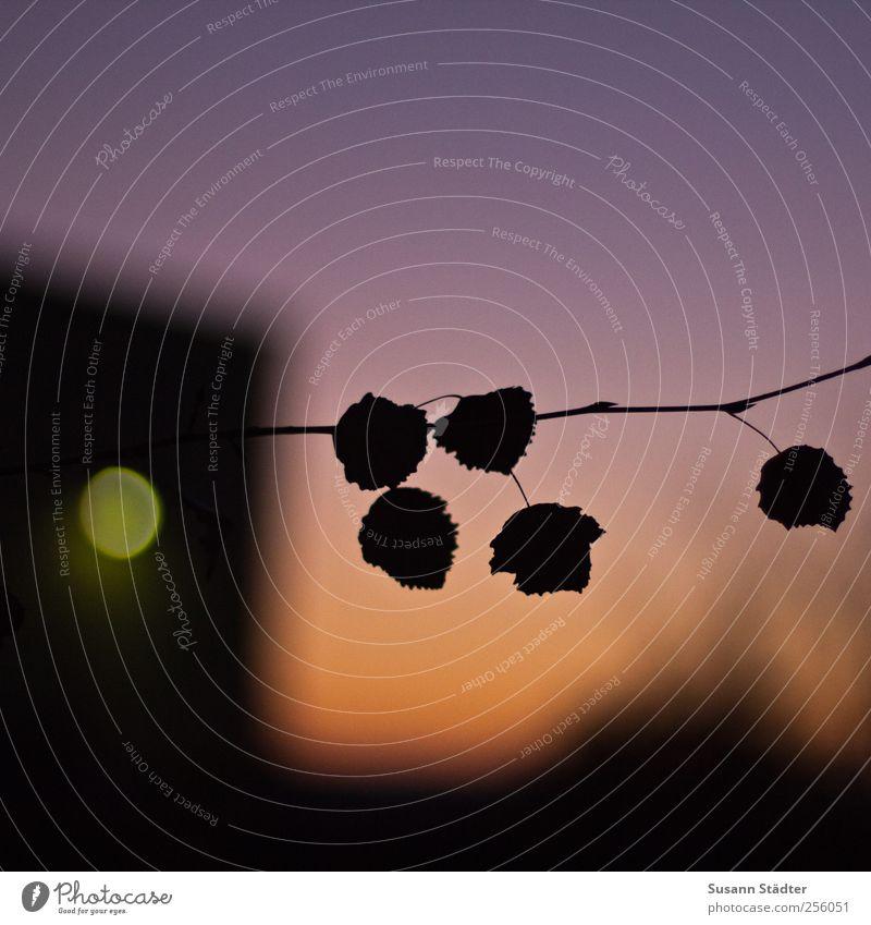 Außenseiter Blatt hängen Zweig Zweige u. Äste dunkel Dämmerung Färbung Licht Schatten mehrfarbig Nahaufnahme Detailaufnahme Textfreiraum oben Abend